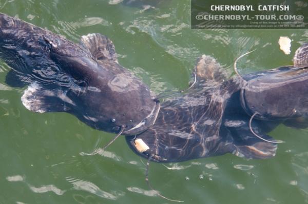Chernobyl catfish